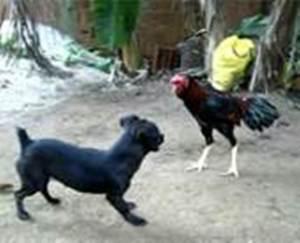 cão e galo